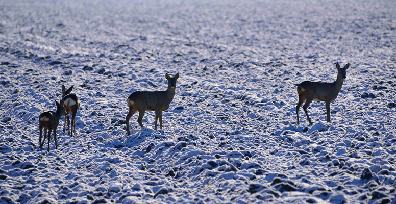 101- Rehe auf Feld, Winter, Schnee