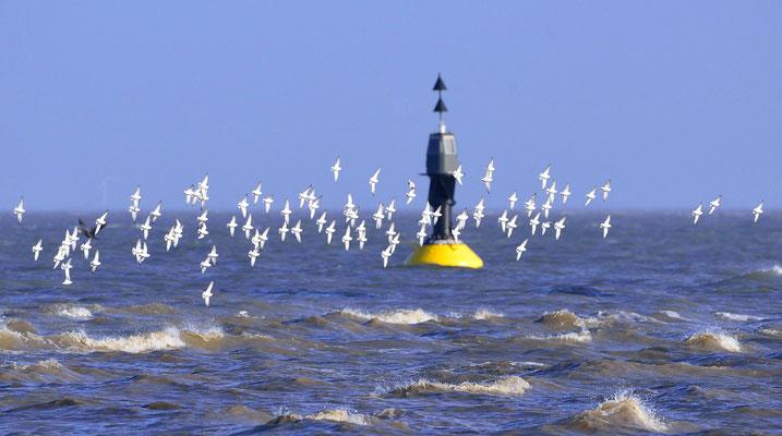34- Möwen vor Boje in der Nordsee