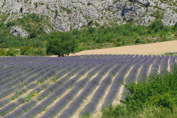 45- Lavendelfeld, Provence, Lavendel, lavande