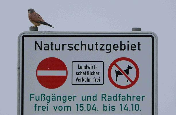 71- Naturschutzgebiet, am Deich, Hunde Leine, Falke sitzt auf Schild, Elbe