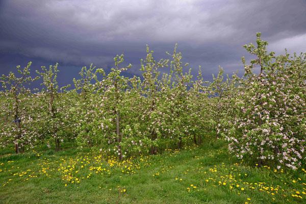 35- Apfelplantage in Blüte, Altes Land