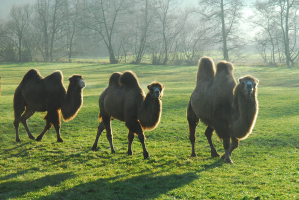 86- Kamele