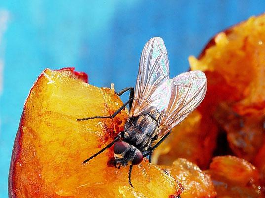 25- Fliege auf Pflaume