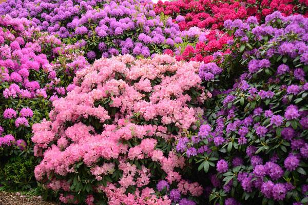 151 - Rhododendronsträucher farbig