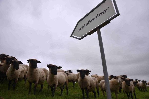 114 - Schafe auf dem Weg zum Schießstand.