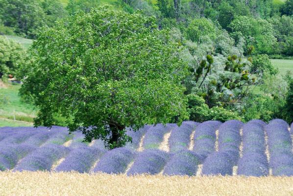 59- Lavendelfeld, Lavendel, Frankreich