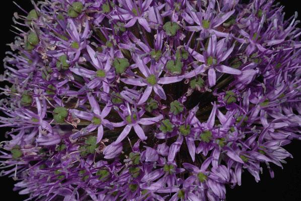 46- Allium, Sternkugellauch, Zierlauch, lila, Dolde, rund