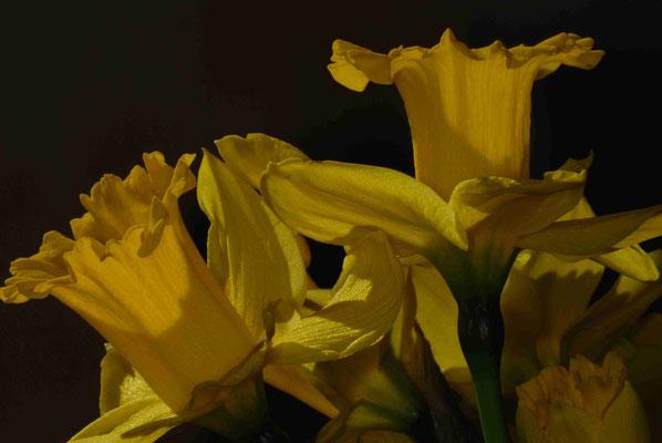 110- Osterglocken, Narzissen, Frühblüher, Frühling, Frühlingsblume, Narcissus