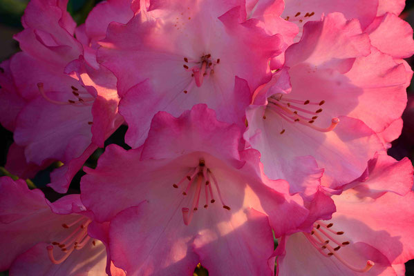 167 - Rhododendronblüte in pink