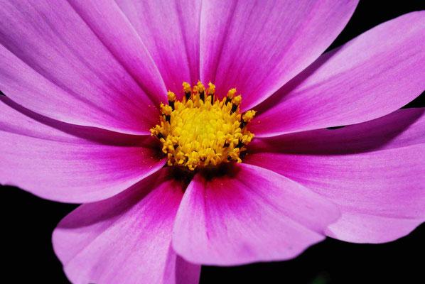 40- Cosmea, rosa, pink, Gartenblume, gelb,