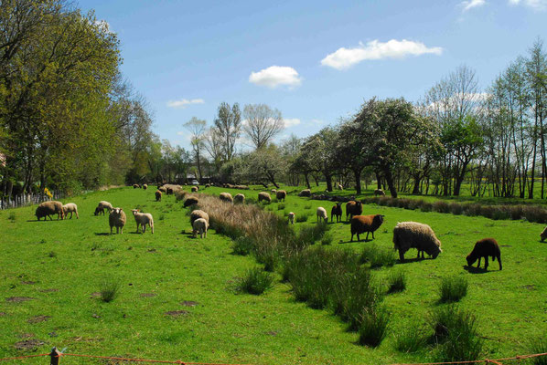 62- Schafe weiden im Moor