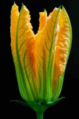 94- Zucchiniblüte, Zucchini, Blüte, gelb,