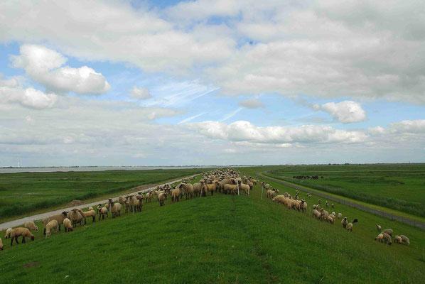 70- Schafe auf dem Deich, Deichschafe, Elbe deich, Norddeutschland