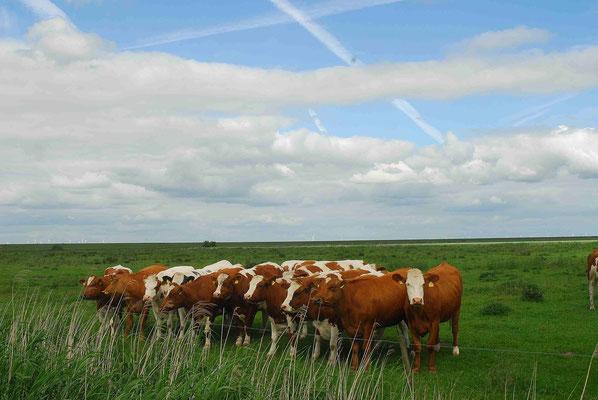 90- Kühe in Gruppe