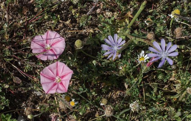 Blumenpracht oberhalb Urzulei