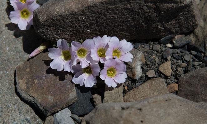 Oxalis loricata, eine Sauerklee Art auf dem Weg zum Loma del Pliegue Tumbado