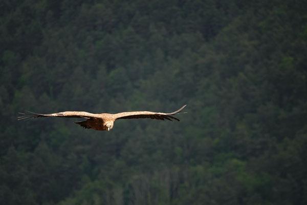 Ein Strich von einem Profil, die grossen Vögel sind Meister des Fliegens