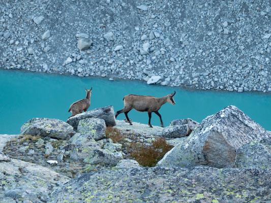 Gämse und ihr Kitz oberhalb vom Gornersee