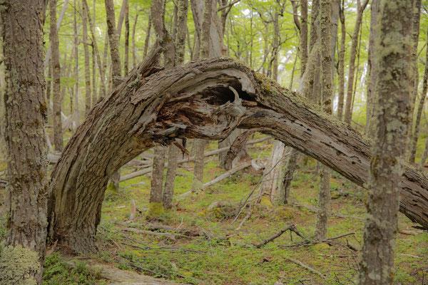 Es ächzt und stöhnt im Wald