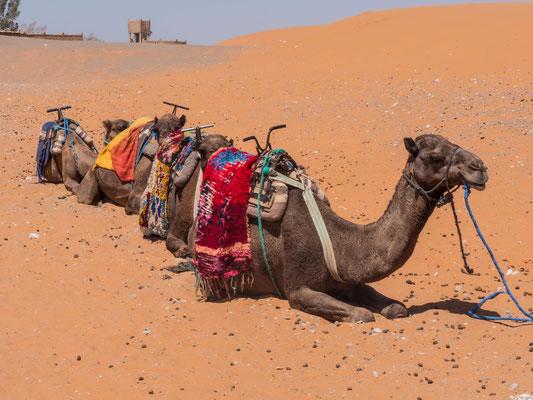 Diese Dromedare kommen mit der sandigen Hitze besser zurecht und warten geduldig auf die nächsten gehfaulen Touristen