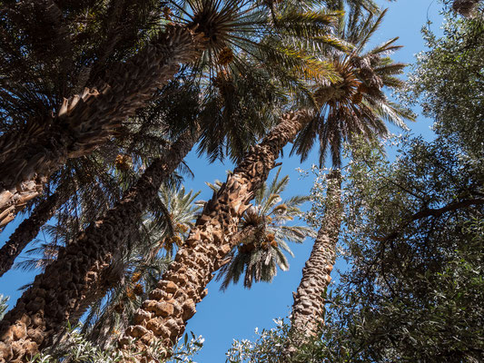 Jetzt ist Dattelzeit und wir beobachten die Bauern bei ihrer ausgesetzten Arbeit in den Palmenwipfeln