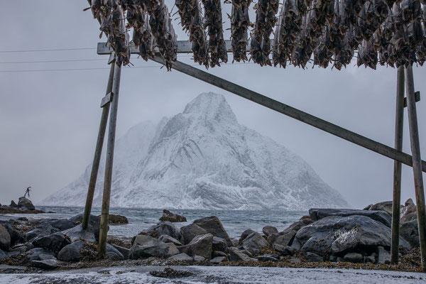 Drei Monate werden die Fischlaiber luftgetrocknet, danach sind sie haltbar und werden zum Verzehr in Flüssigkeit eingelegt