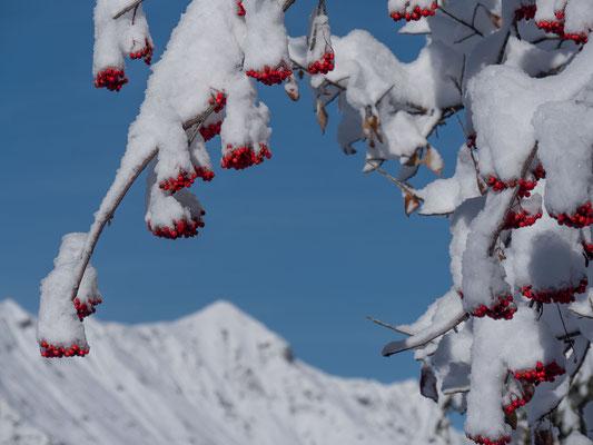 Diese (Bauern)regel bekam ich im Herbst zu Ohr, ein langer Winter steht bevor, falls  der Beeren viel und rot