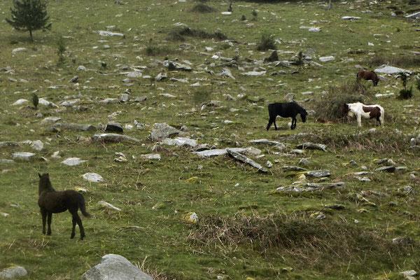 Chevaux sauvages en liberté appelés Pottoks