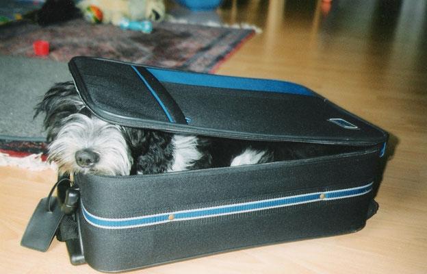 Schapendoes Ellex will mit in den Urlaub