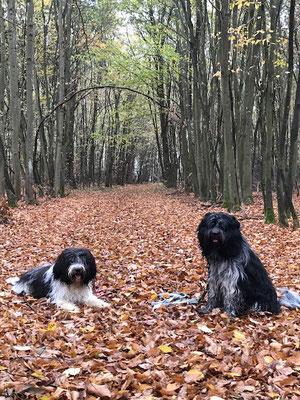 zwei Schapendoes Rüden im herbstlichen Wald