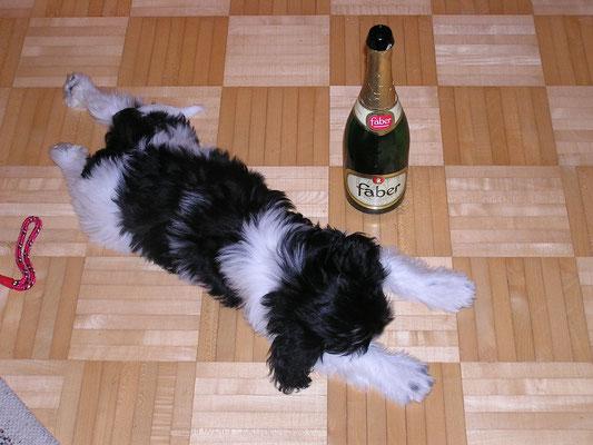 Schapendoesmädchen Iznelna feierte den Jahreswechsel :-)
