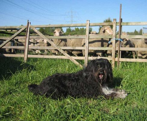 Schapendoes Eika wurde vom Schäfer an der Herde ausgebildet