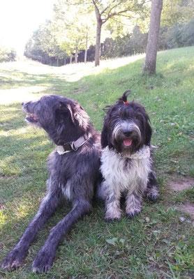 Schapendoes Florentine aus meinem W-Wurf mit ihrem Freund