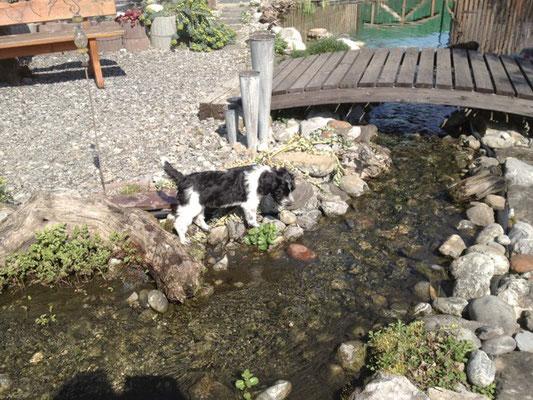 Schapendoeshündin Vicky hat einen riesigen Garten in der Schweiz