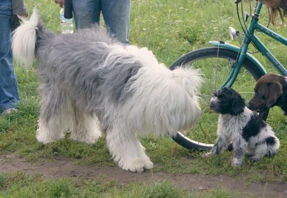 Schapendoeswelpe Paolina trifft erstmals einen großen Artgenossen