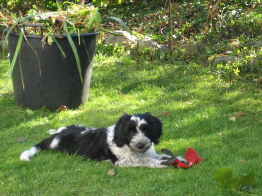 """Schapendoes-Junghund """"Unser Benny von Maxima"""" in seiner neuen Familie"""