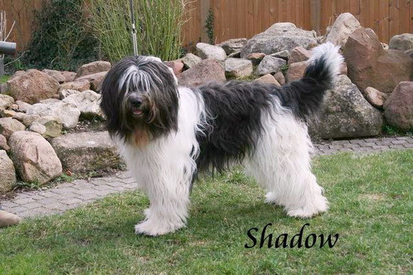 Schapendoesrüde Shadow ist der Vater unserer aktuellen Schapendoeswelpen