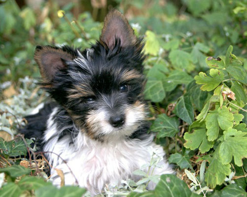 Biewer-Yorkshire-Terrier bei den Schapendoes von Happy Shaggy Family