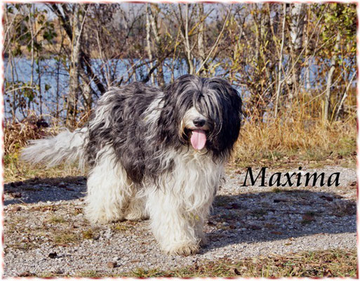 Schapendoeshündin Maxima ist die Mutter unserer aktuellen Schapendoeswelpen