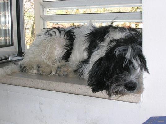 Schapendoeshündin Infinity bei Michi auf der Fensterbank