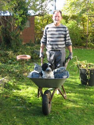 Schapendoeswelpe Benny hilft schon bei der Gartenarbeit