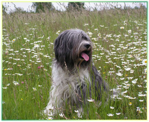 "unser Blumenkind ""Bajule von Happy Shaggy Family"" (Schapendoes von Happy Shaggy Family)"