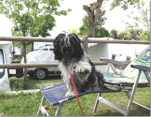 Schapendoes-Junghund Benny winkt aus dem Campingurlaub
