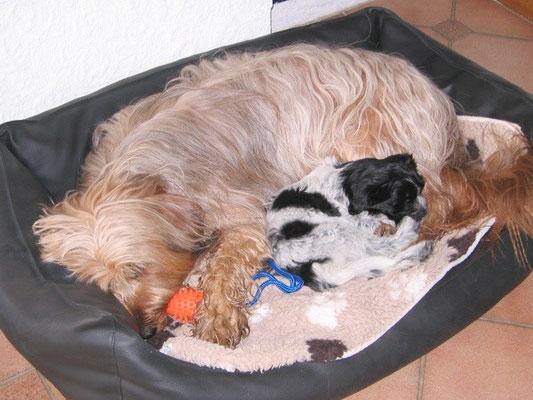 Schapendoeshündin Ornella (Finni) bei ihrer Familie