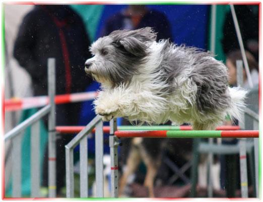 Schapendoes Snoep fliegt über die Hürden