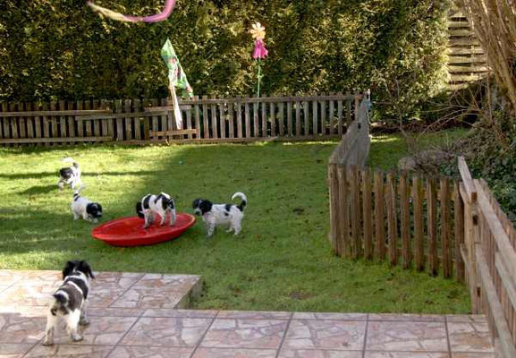 mein Schapendoes T-Wurf im Garten