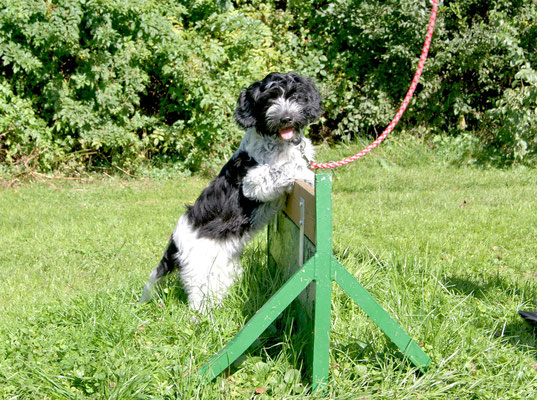 unser kleiner Schapendoes Paolina übt sich schon früh im Hundesport