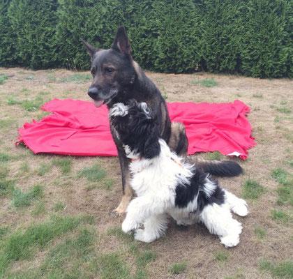 Schapendoes-Junghund Xisco hat in der Schweiz auch gleich einen Freund gefunden