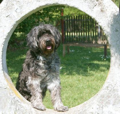 Schapendoes Quellina mit 15 Jahren bei den Hundefreunden Dachau