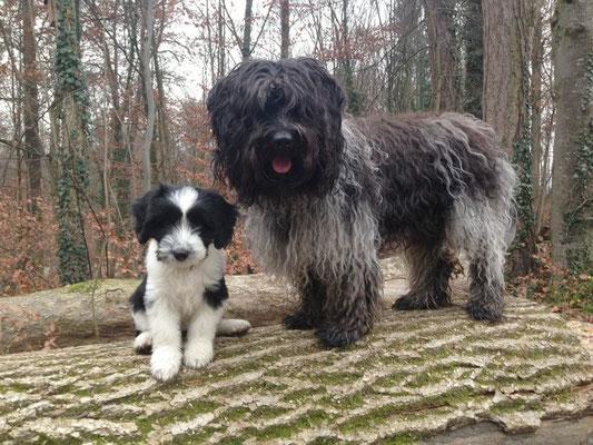 Schapendoeswelpe Ylara Maxima lebt in der Schweiz zusammen mit Tula